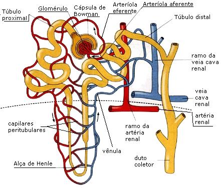 Anatomia dos néfrons, para te ajudar a entender o Sistema Renina-Angiotensina-Aldosterona.