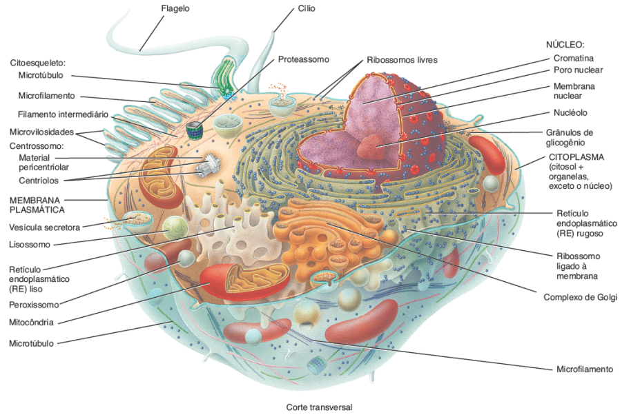 Célula corte transversal