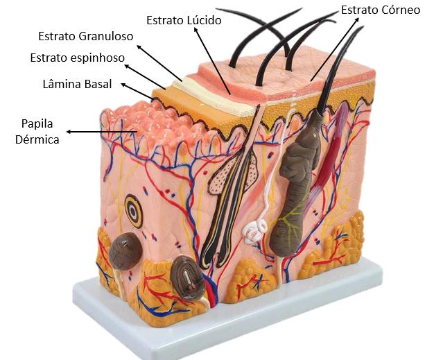 Estratos da pele