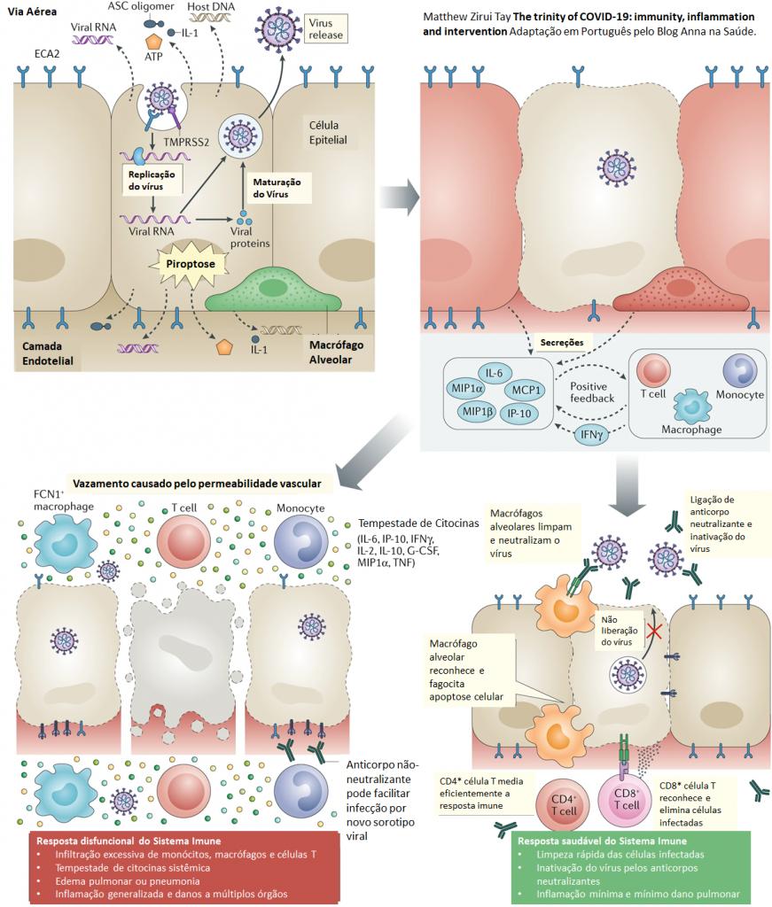 Cronologia dos eventos durante a infecção por SARS-CoV-2